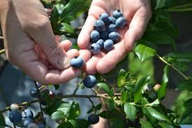 Инструкция за безопасна работа при бране, пренасяне и преработка на горски плодове и шишарки